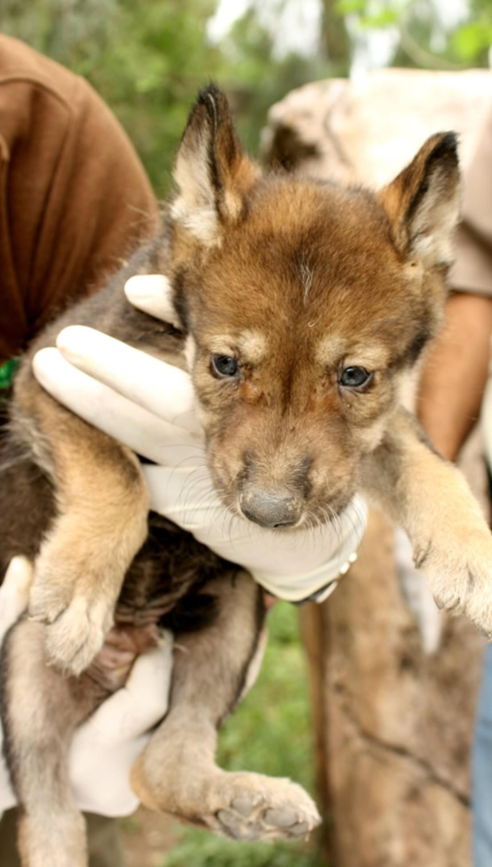 Las crías nacieron el 10 de abril, informó el director general del zoológico, Vicente Mongrell