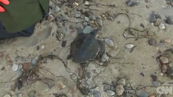 Piloto traslada a tortugas rescatadas de las frías temperaturas de Massachusetts