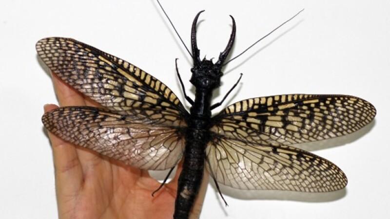 Un espécimen inusualmente grande de la mosca dobson, el insecto acuático más grande del mundo