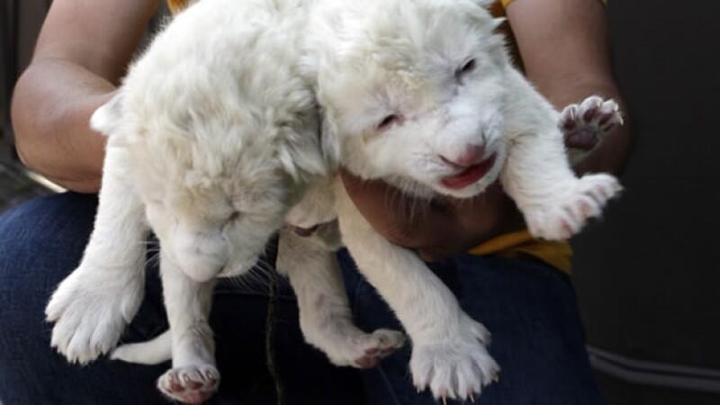 leon blanco especies felinos