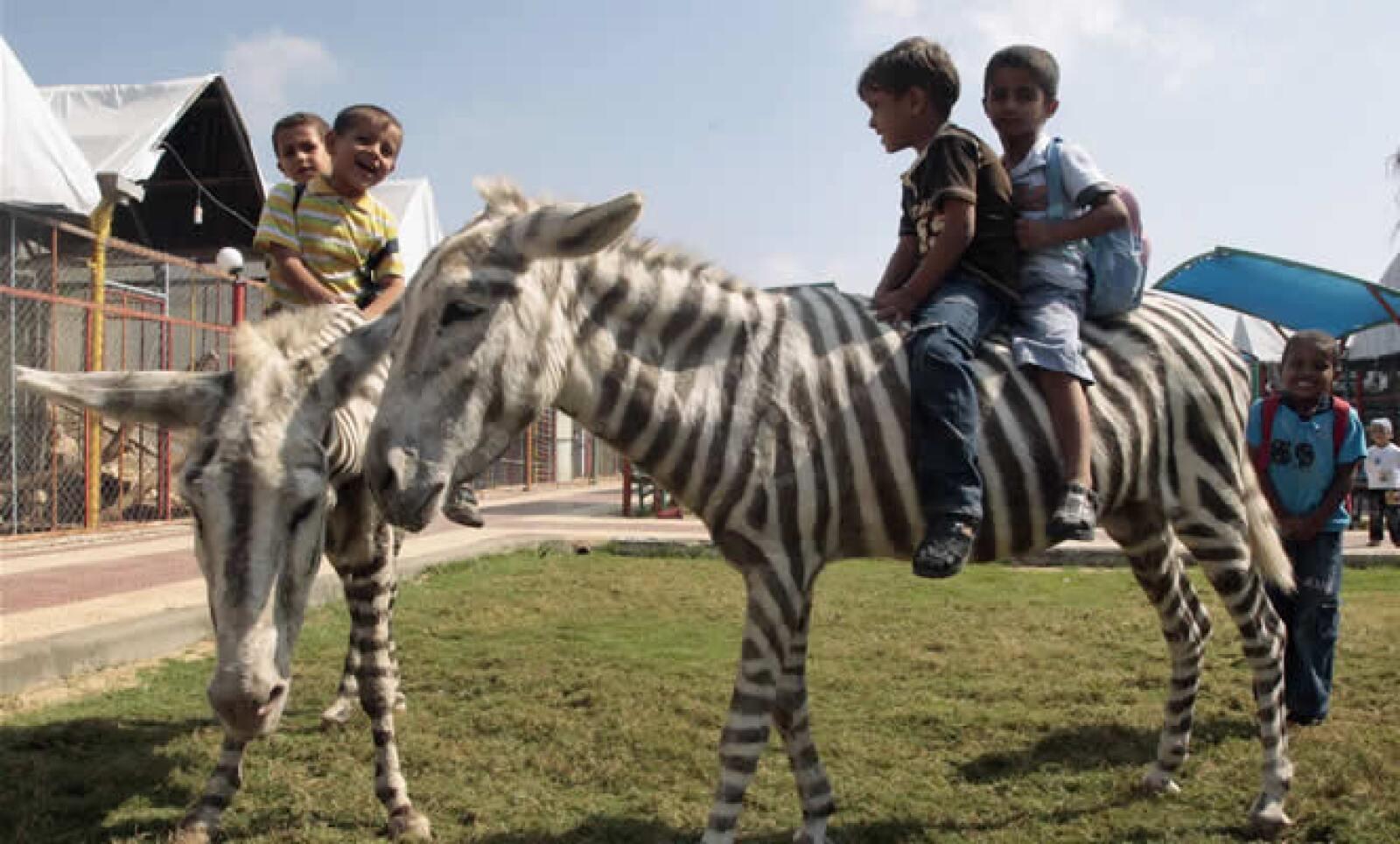 Un zoológico de Gaza muestra a dos burros blancos pintados en reposición de las cebras que murieron de hambre durante la ofensiva militar israelí de 2008. El dueño del zoológico afirma que hubiera costado demasiado llevar al animal real.