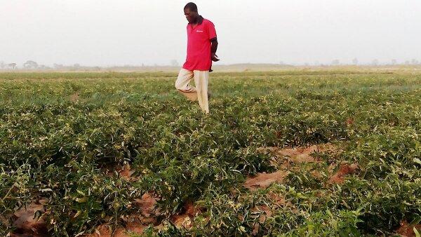 Nigeria es el segundo productor de tomate de África.