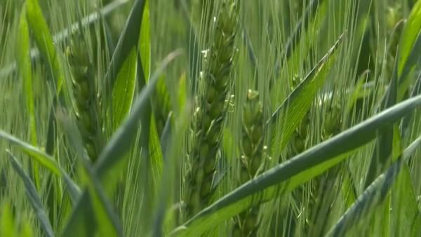Argentina, primer país en aprobar comercialización de trigo transgénico|