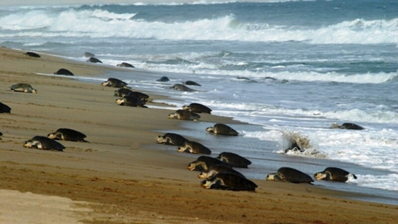tortuga golfina Oaxaca