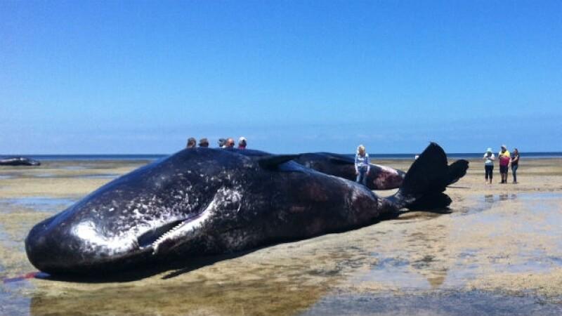 Mueren 6 ballenas al sur de Australia