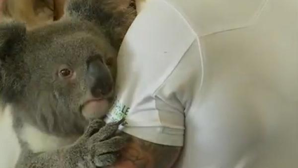 #ElDatoDeHoy: completan la secuencia del genoma del koala, un avance para su con