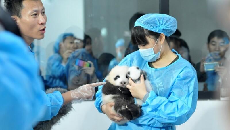 pandas, reserva, cientificos, estudio, conservacion, proteccion, especie, china, shengdu, extincion, china, cachorros