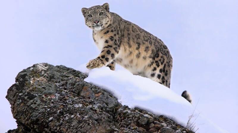 leopardo_nieves