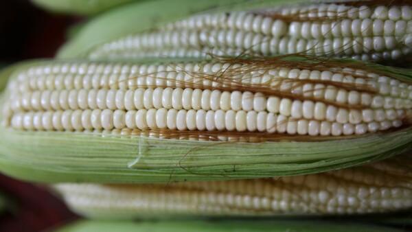 Tipo de maÌz mexicano reducirÌa uso de fertilizantes, seg˙n estudio