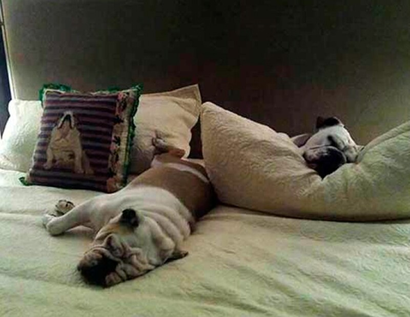 Paulina no viaja sola, sus lujos los comparten tres mascotas: los bulldogs ingleses Keiko, Boli y Morgancita,