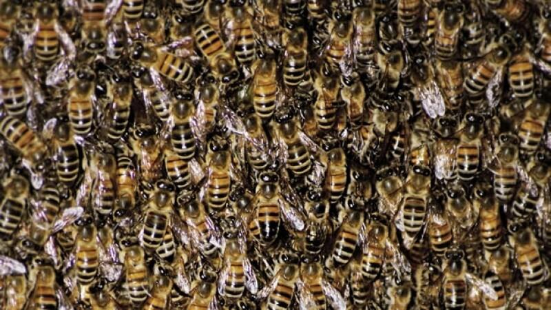 : Cientos de abejas en una colmena; en Arizona, el piquete de los insectos mató a una persona