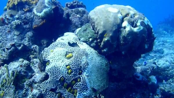 """El """"síndrome blanco"""", la enfermedad que amenaza gran parte del arrecife mexicano"""