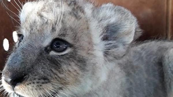 Esta pequeña leona fue rescatada en el aeropuerto de Tijuana
