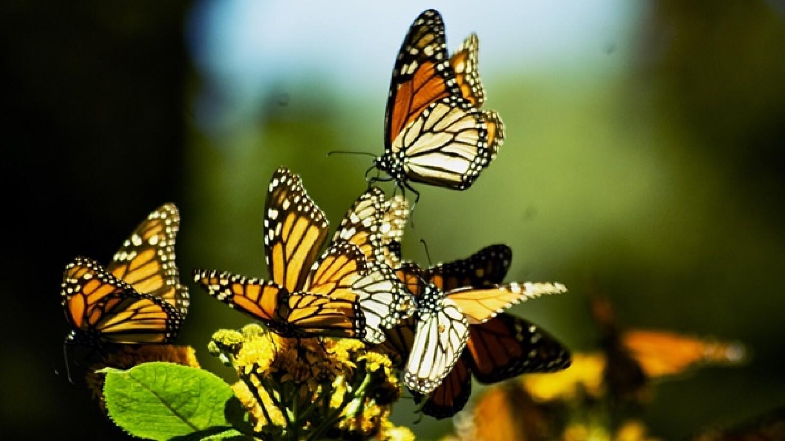 monarca morelia