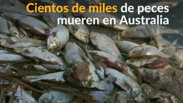 Un descenso de temperatura provoca la muerte de miles de peces en Australia