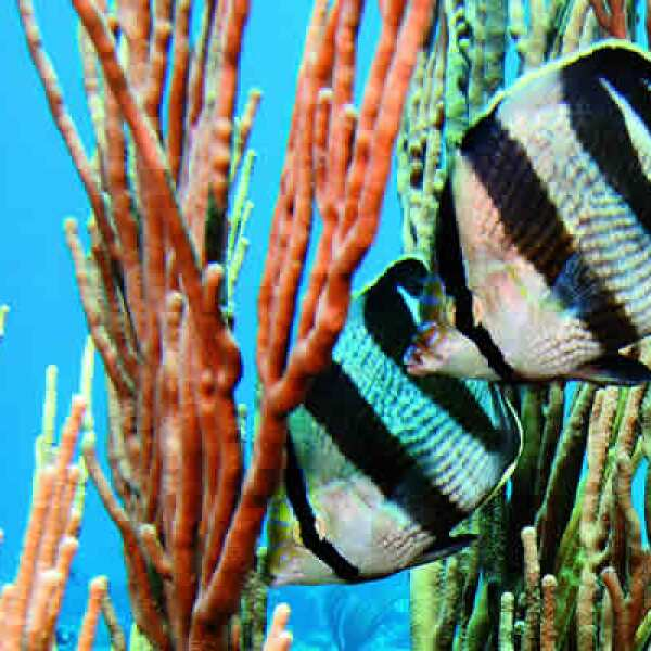 Una pareja de peces mariposa pasea los arrecifes.