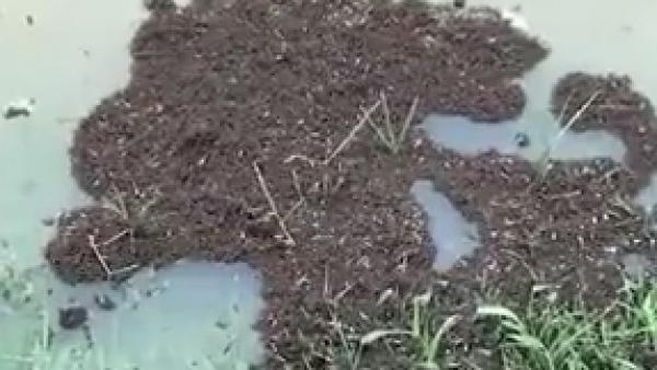 Formando pequeñas islas, así es como las hormigas sobreviven a las tormentas