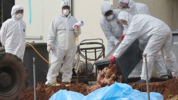 gripe aviar en Corea del Sur