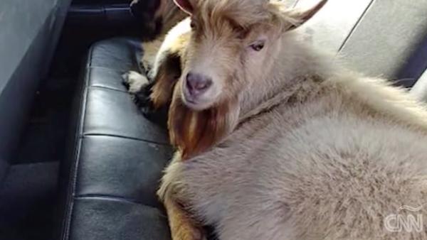 Policías rescatan a unas cabras en una carretera en Kentucky