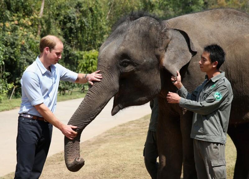 Además de alimentar al paquidermo, William dio un discurso en el que se pronunció en contra del tráfico ilegal de animales.