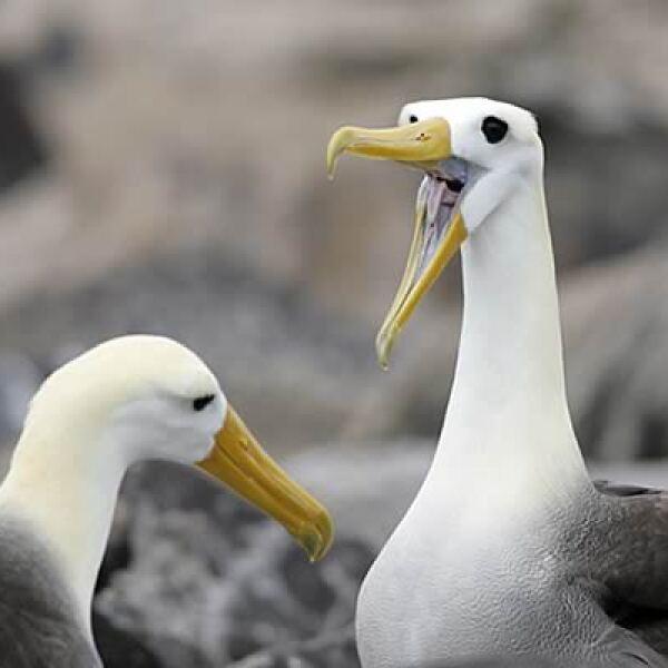 El albatros ondulado o de las Galápagos está catalogado por la Lista Roja como en peligro crítico. Su principal amenaza se presenta al buscar alimentarse, ya que al querer robarse la carnada, termina por atorarse en los barcos de pesca.