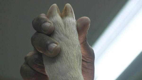 Médicos prueban en cerdos los respiradores para enfermos de COVID-19