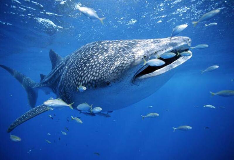 Podrás nadar con tiburones ballena en Holbox.