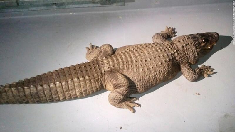 Jaxon cocodrilo Los Ángeles