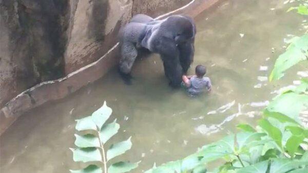 La cuidadora de gorilas, Amanda O'Donoughue, explicó el porqué fue asesinado el animal que arrastró a un niño de un lado a otro en el zoológico de Cincinnati.