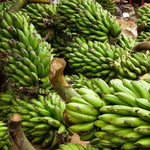 Uganda bananas agricultura plaga 03