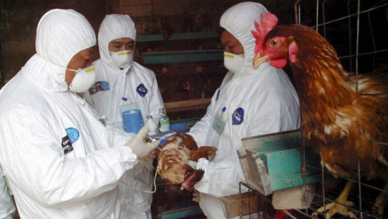 Unos trabajadores de emergencia vacunan unos pollos contra la gripe aviar en una granja en la provincia de Shaanxi, al noroeste de China