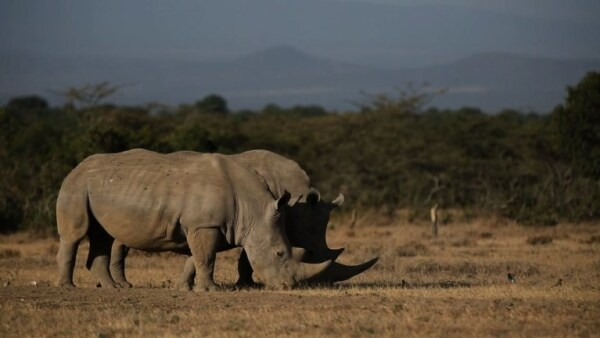 Científicos crean en laboratorio los primeros embriones de rinoceronte blanco