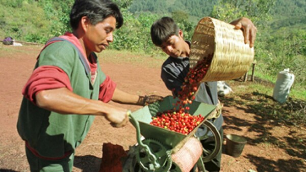 El café de Chiapas se cosecha en terrenos de 900 metros sobre el nivel del mar o más. (Foto: AP)
