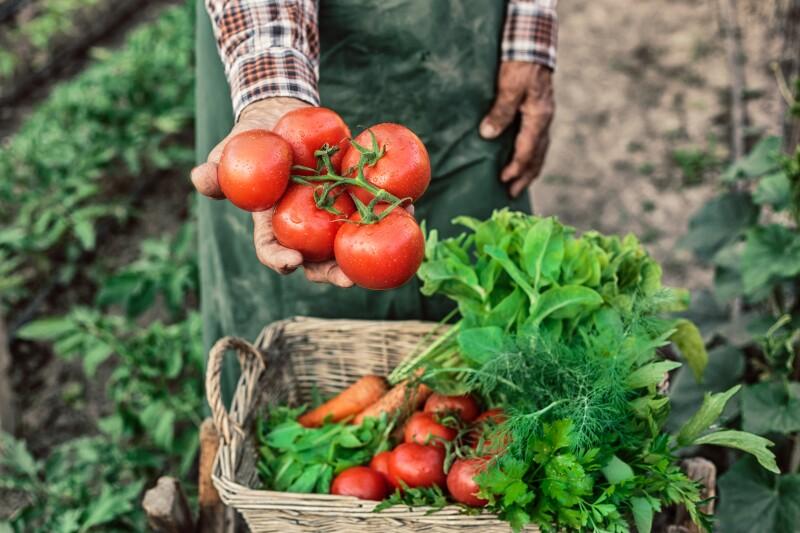 Campos de tomate