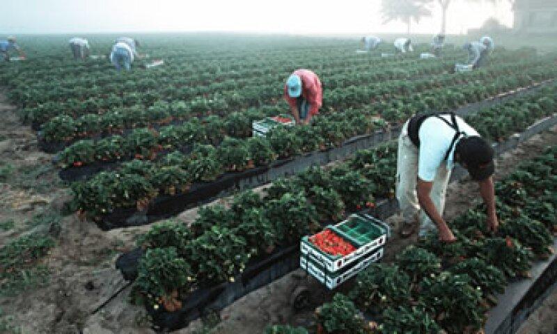 Agricultores de California registran 25% menos trabajadores de los que necesitan para recolectar la cosecha. (Foto: Archivo)