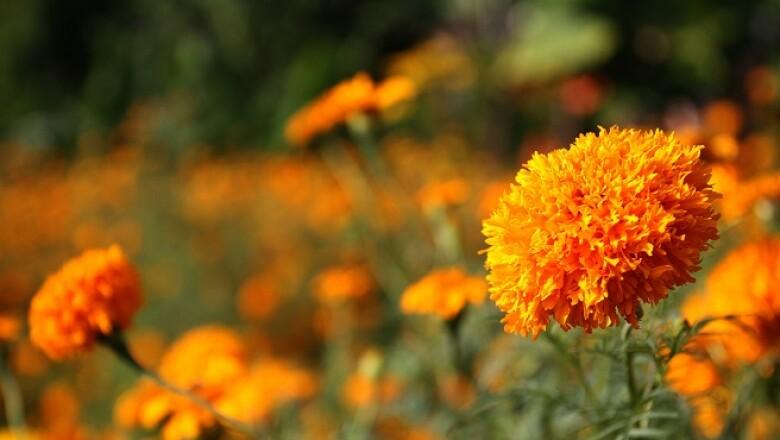 flores de cempas�chitl 2
