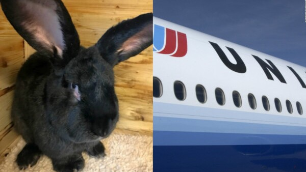 Un conejo gigante murió a bordo de un vuelo de United Airlines
