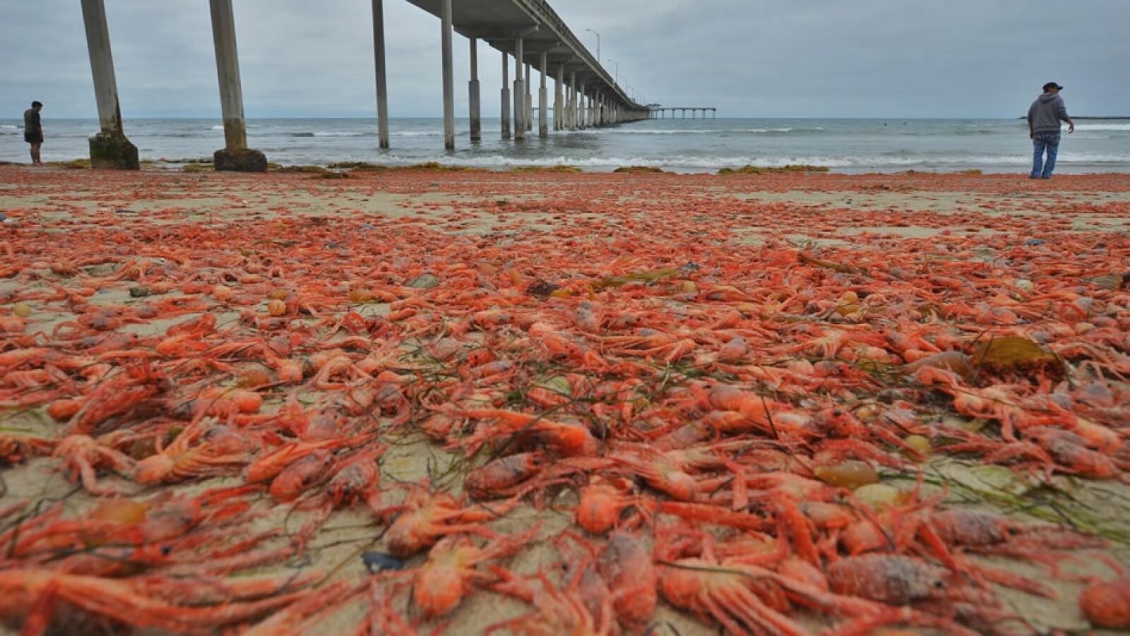 cangrejos rojos playas San Diego