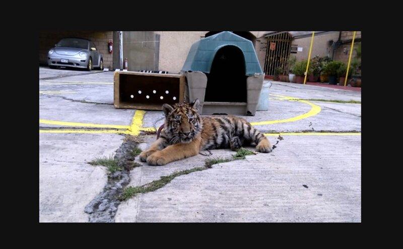 Tigre-
