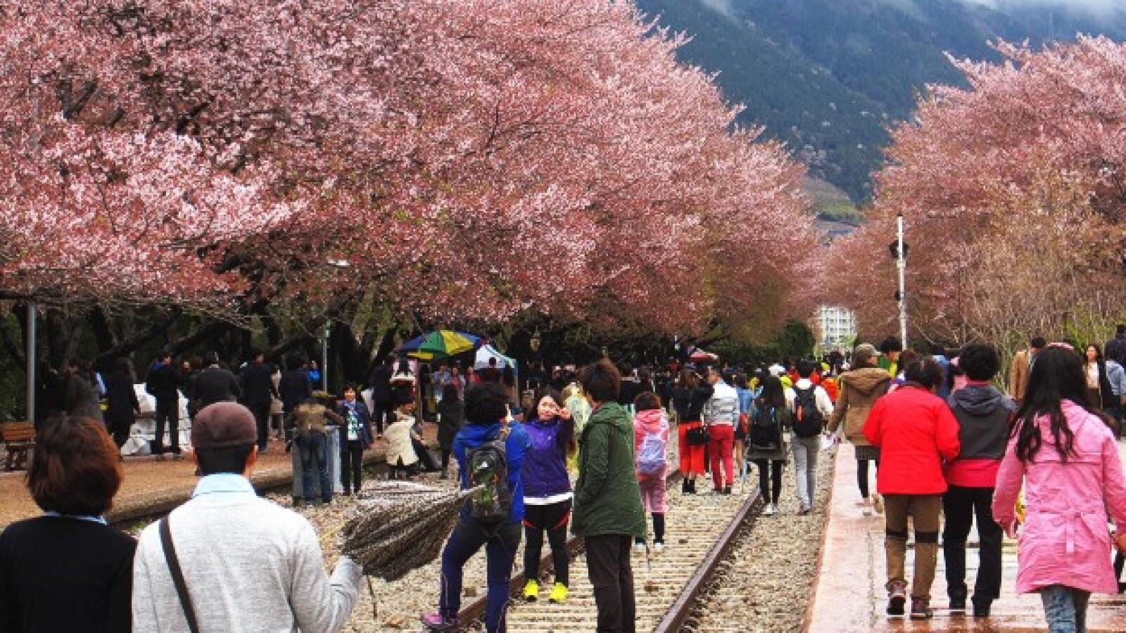 festival flores de cerezo Jinhae Corea del Sur