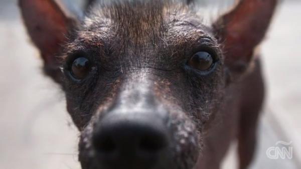 Las cinco razas de perros típicas de América Latina