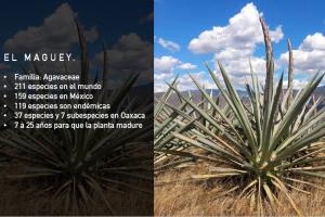 Proyecto Maguey