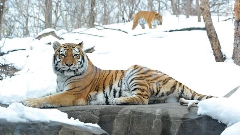 tigre zoológico bronx
