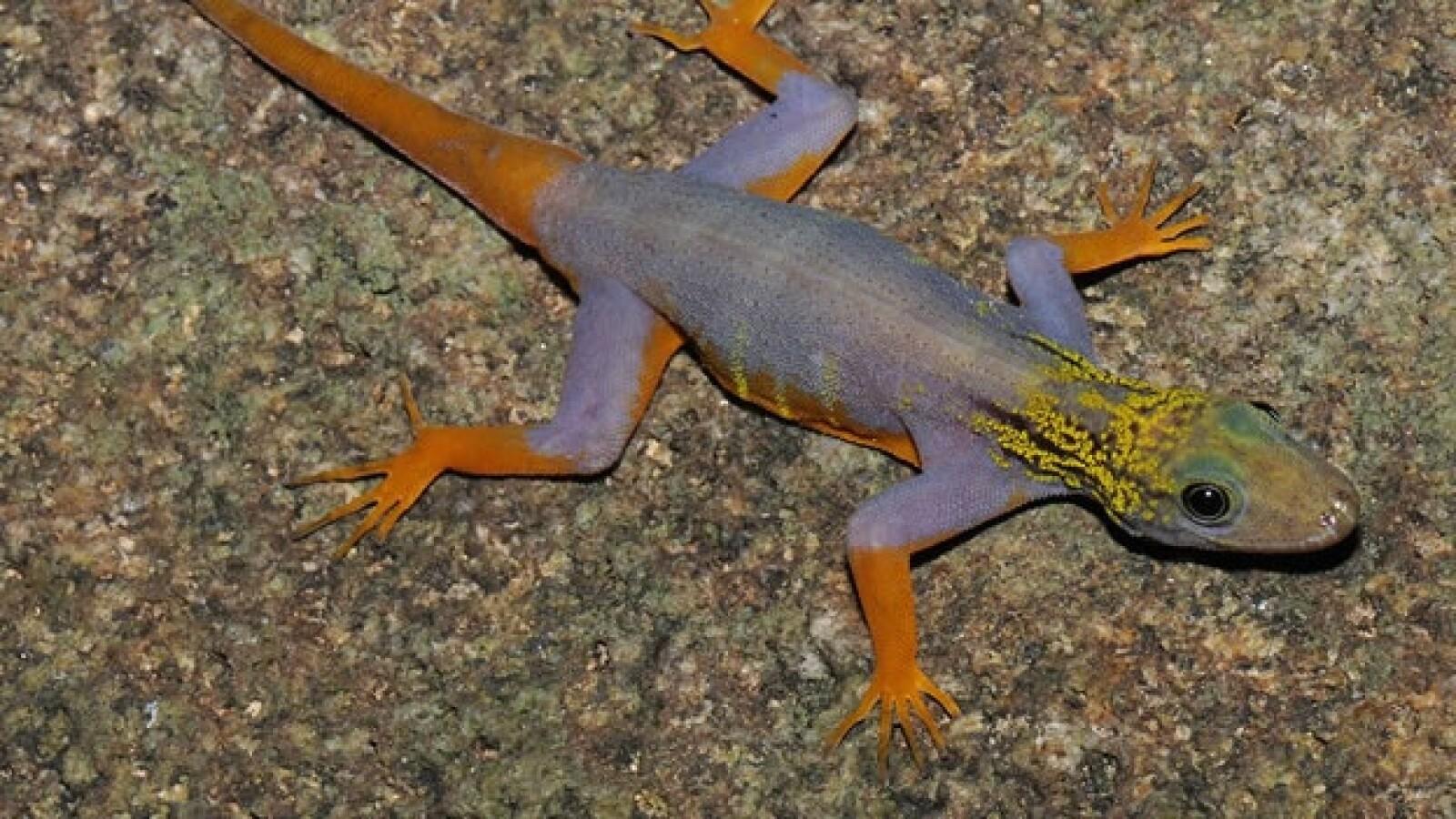 gecko psicodélico vietnam wwf