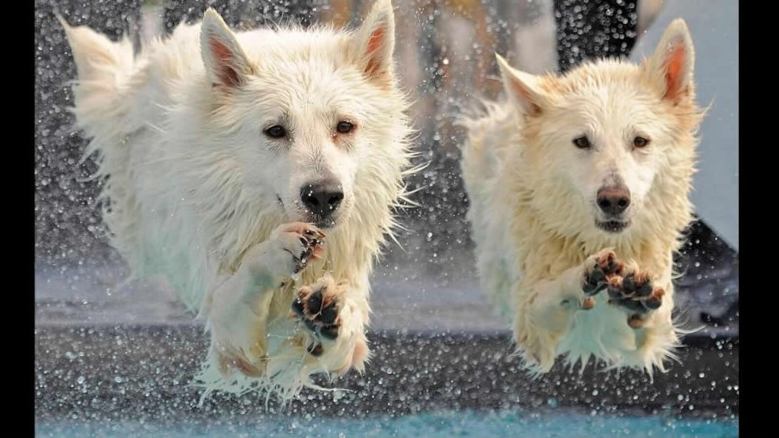 perrros de raza pastor blanco alemania