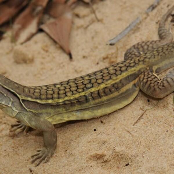 lagarto clonación especies vietnam