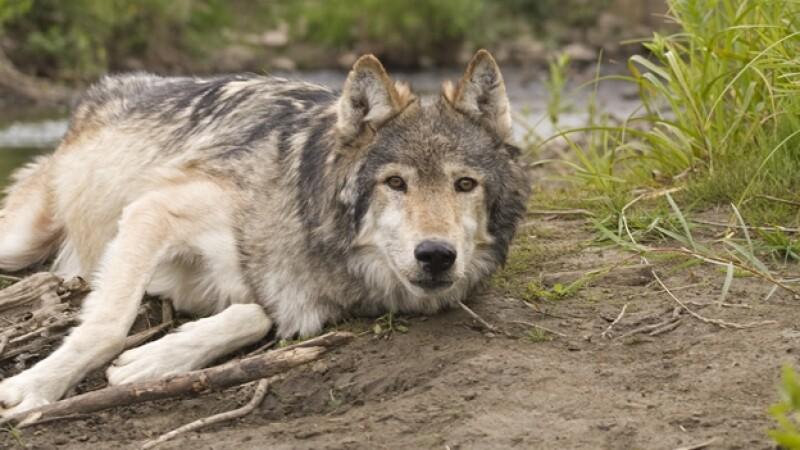 lobo canadiense ejemplar