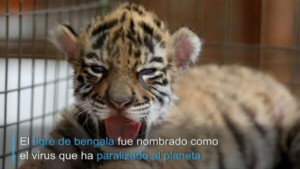 """""""Covid"""", el tigre bebé con nombre de pandemia nacido en Veracruz"""