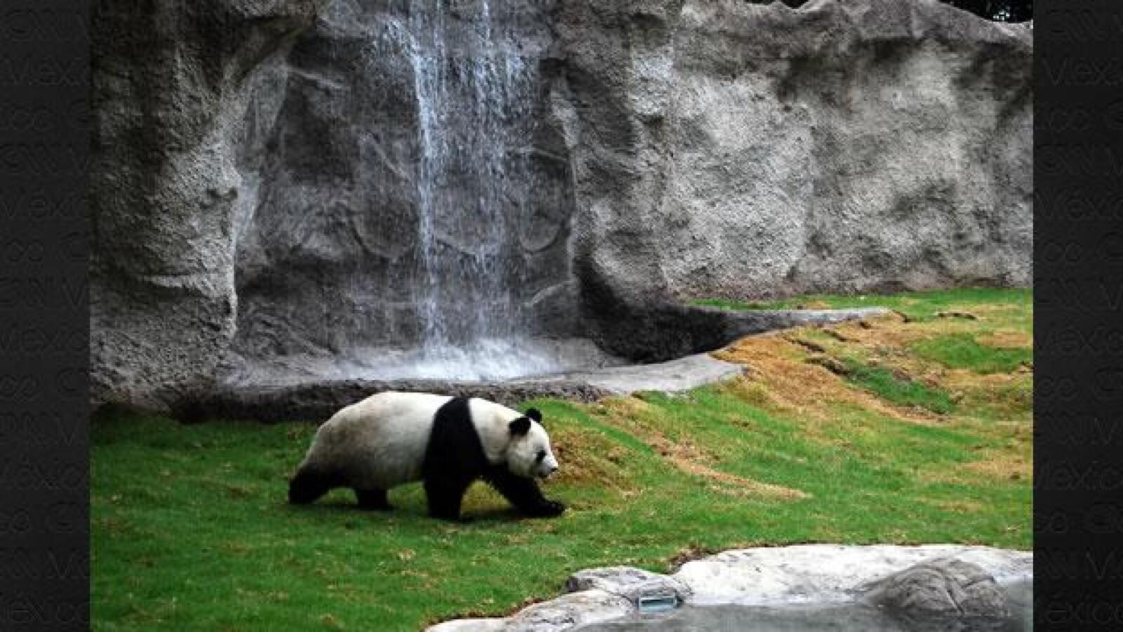 Panda Shuan Shuan