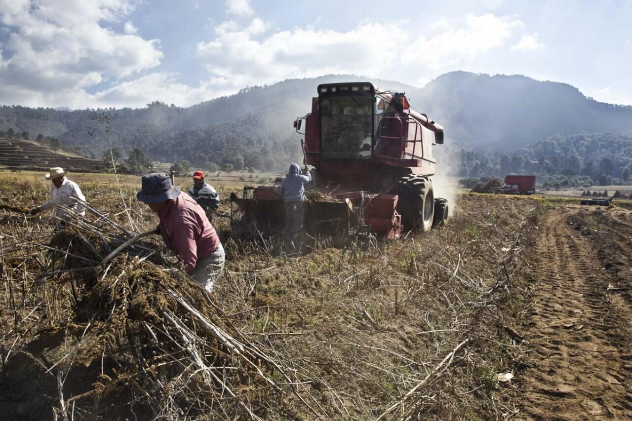 El amaranto mexicano integrará blockchain en su producción